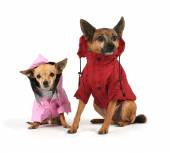 Small dogs dressed in jackets — Stock Photo