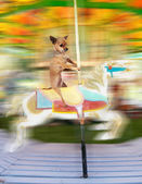 Chihuahua on merry go round — Stock Photo
