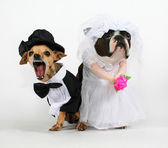 Two dogs in wedding attire — Stock Photo