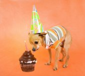 Chihuahua in party attire — Stock Photo