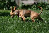 Chihuahua urinating in the grass — Stock Photo
