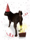 Boston terrier with birthday hat — Stock Photo