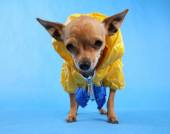 Chihuahua dressed in raincoat — Stock Photo