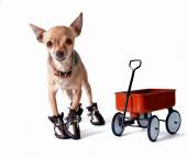 Chihuahua in shoes and wagon — Stock Photo