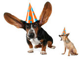 Basset hound and chihuahua in birthday hats — Stock Photo