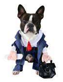 Boston terrier dressed up in suit — Stock Photo