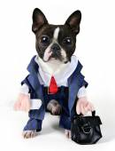 Boston terrier dressed up in suit — Stockfoto