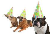 Three dogs in birthday hats — Stock Photo