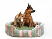 Two dogs sitting in pet bed — Stock Photo