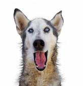 Wolf mix making funny face — Stockfoto