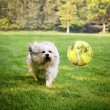 Dog running to try catch ball — Stock Photo #53608771