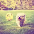 Dog running to try catch ball — Stock Photo #53608817