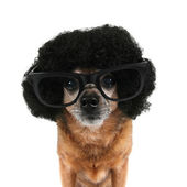 Chihuahua with an afro wig — Photo