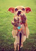 Chihuahua enjoying outdoors — Stock Photo