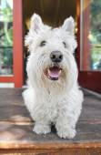 West highland terrier on porch — Zdjęcie stockowe