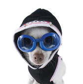Chihuahua with goggles and hoodie on — 图库照片