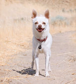 Little white chihuahua — Foto Stock