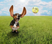 Basset hound chasing tennis ball — Stock Photo