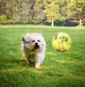 Dog running to try catch ball — Stock Photo