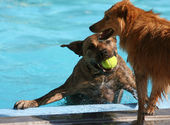 Two dogs at swimming pool — Foto Stock