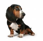 Baby basset hound — Stock Photo