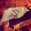 Dead bird on autumn leaf — Stock Photo #53614051