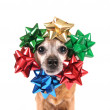 Chihuahua with bows around head — Stock Photo #53614455