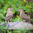 Northern Flickers — Stock Photo #53619357