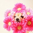 Chihuahua with flowers around head — Stock Photo #53619453