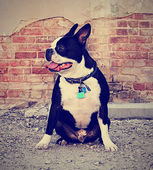 Boston terrier — Stock Photo