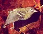 Dead bird on autumn leaf — Stock Photo