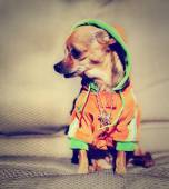 Chihuahua with hoodie and jewelry — Stock Photo