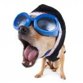Chihuahua with goggles and jacket — Stock Photo
