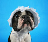 Boston terrier in baby bonnet — Stock Photo