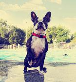 Boston terrier at swimming pool — Stock Photo