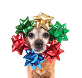 Chihuahua with bows around head — Foto de Stock