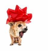 Chihuahua dressed up for christmas — Stock Photo