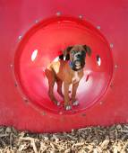 Boxer puppy at park — Stock Photo