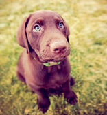 Chocolate lab puppy in the grass — Stockfoto