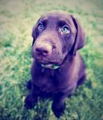 Chocolate lab puppy in the grass — Zdjęcie stockowe