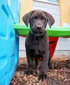 Chocolate lab puppy in play house — Stock Photo