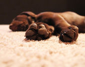Chocolate lab puppy sleeping — Stock Photo
