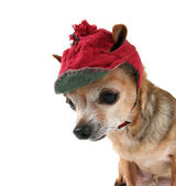 Chihuahua in winter hat — Stock Photo