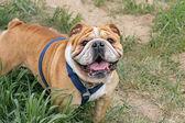 Bulldog in the grass — Stock Photo