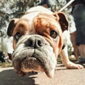 Cute bulldog — Stock Photo