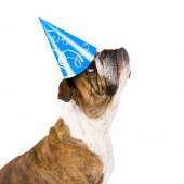 Bulldog with birthday hat — Stock Photo