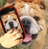 Bulldog taking selfie with camera — Stock Photo