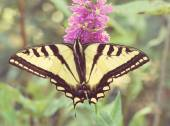 Swallowtail Butterfly on purple flower — Stock Photo