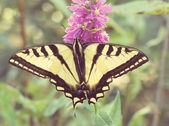 Swallowtail Butterfly on purple flower — Foto Stock