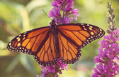 Monarch Butterfly on purple flowers — Stockfoto
